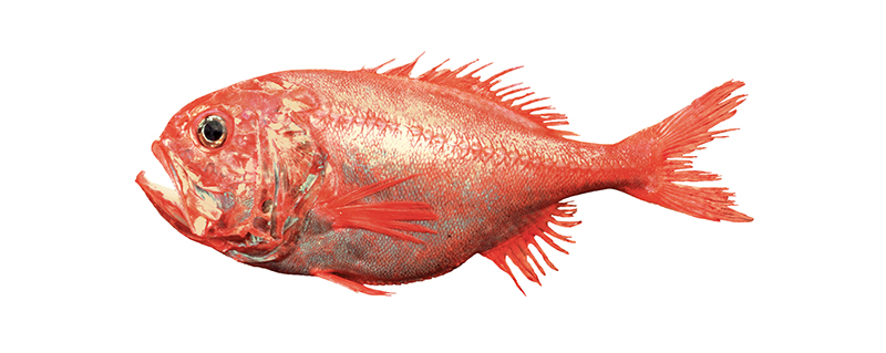 orange roughy 1